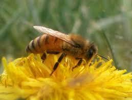 زنبور کارگر