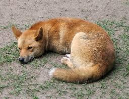 external image 777px-Dingo_Australia_Zoo_QLD.jpg