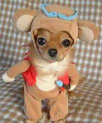 Chihuahua in a costume