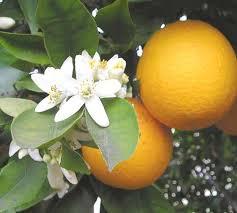 ملف كامل عن عمل المربى Orange_Blossom.jpg
