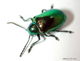 dogbane_beetle.jpg