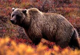 http://animals.nationalgeographic.com/animals/photos/bears/grizzly-bear_image.html