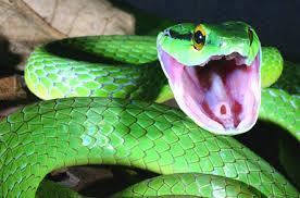 الأفاعي _59307_snake123.jpg