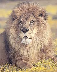 external image Lion-Sitting-Print-C10001351.jpeg