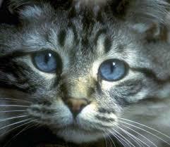 http://tbn0.google.com/images?q=tbn:XI3WhF2xK3T9zM:http://www.4asap.org/Copy_of_blue-eyed_cat.jpg