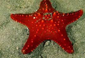 Tropical ocean starfish