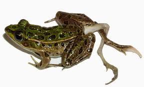 external image frog3_h.jpg