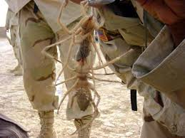 IRAQ camel spiders 450 8 legs, hairy &amp; spooky   RUN!