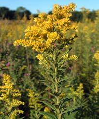 external image 500px-Goldenrods_in_Fountain_County,_Indiana.png