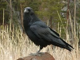 photo grand corbeau