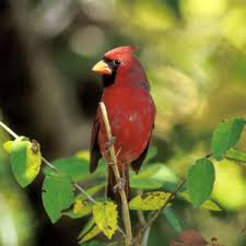 multi_cardinal.jpg