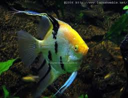 Beautiful Koi breeding angelfish