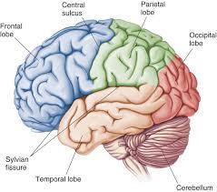 מח האדם בנוי משלושה מוחות: גזע המוח החלק הקדום, המח הקטן, המח הגדול המחלוק ל 4 חלקים = 6 חלקים למח.