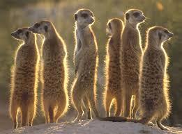 external image meerkats_1024.jpg