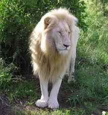 أبدإ الركض.... normal_lion_blanc_cc02.jpg