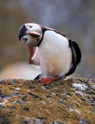 http://www.seabird.org/birds-puffin.asp