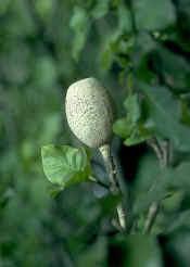 frutto di Gardenia