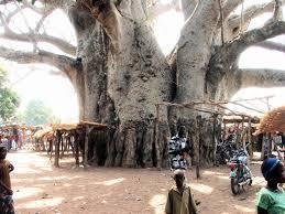 شجرة التبلدي..خزان للمياه