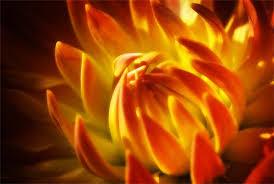 زهرة النار