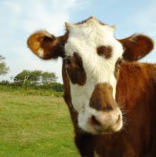 normal mucca Unione allevatori di Fiemme e Fassa, pronti 5 milioni per investimenti.