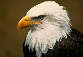http://animals.nationalgeographic.com/animals/birds/bald-eagle.html?nav=A-Z