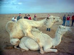 Two fucking camels