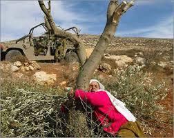 زيتون فلسطين 1_739771_1_34