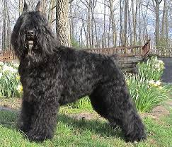Picture of a Bouvier