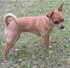 ChihuahuaDaisyphlox0417.JPG
