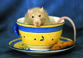Tikus Cengos