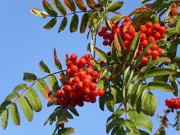 http://www.comune.massello.to.it/index.php?section=/vegetazione/sorbo_degli_uccellatori.html