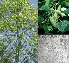Glosario y propiedades mágicas de las plantas Betulapopuli