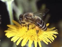 food_gathering_behavior_of_bees_full.jpg