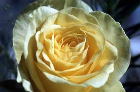 yellow-rose-7q1.jpg
