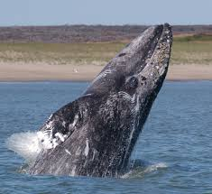 Western Gray Whale