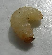http://tbn0.google.com/images?q=tbn:qUkMInayDVDfiM:http://upload.wikimedia.org/wikipedia/commons/c/ca/White_maggot.JPG