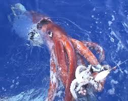 calamar-gigante3