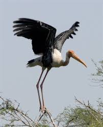 Maryland Stork