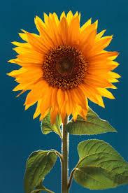 external image Sunflower-Poster-C10007037.jpeg