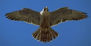 الصقر طائر ليس له مثيل Falcon.18