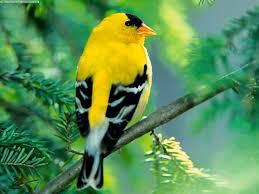 photo chardonneret jaune
