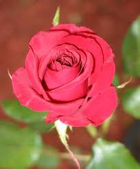 ������ ���� ���� rose1.jpg