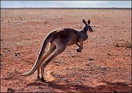 external image animals_kangaroo.jpg
