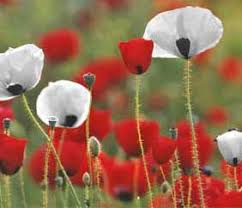 http://www.ppu.org.uk/whitepoppy/white-news.html