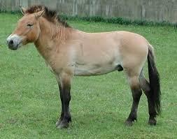 La famille des équidés: définition dans les chevaux przewalski