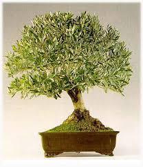 http://tbn0.google.com/images?q=tbn:vIRgvrzgBeVkPM:http://personal.auna.com/bonsaipep/olivo.JPG