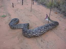 الأفاعي snake.jpg