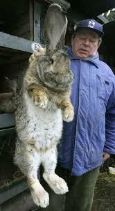بزرگترین خرگوش دنیا