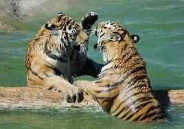 tigre_cc012