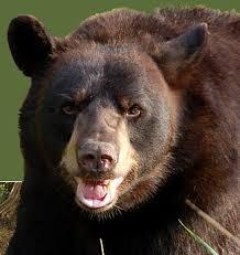 http://tbn0.google.com/images?q=tbn:xyKVk_0bVT4J::www.americanbear.org/shared/images/homepage/black-bear.jpg